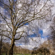 Old tree in Green Park