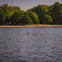 Members of the Serpentine Swimming Club can swim in the lake every day from 5AM to 9:30AM