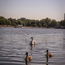 There are plenty of swans in and around the Serpentine lake