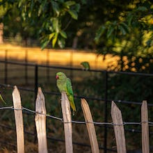 Kensington Gardens parakeets might even land on your hand