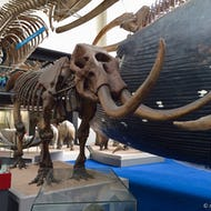 Elephant skeleton in Natural History Museum