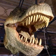Model T-rex head in Natural History Museum
